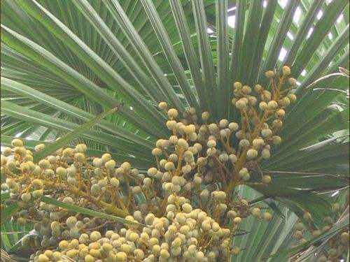 Saw Palmetto extract 06.jpg